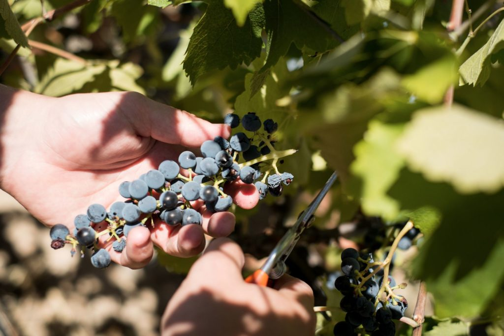 curious-winemaker-picking-bunch-2